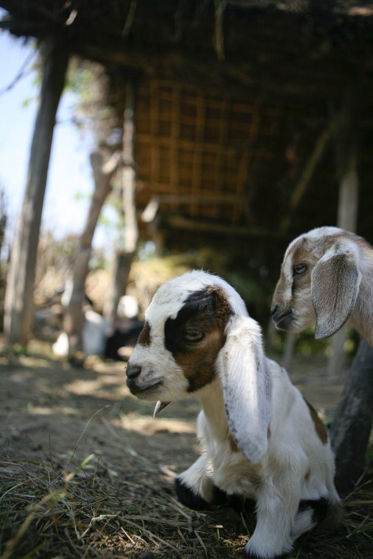 Een geit is in Nepal vaak het begin van een beter leven. Een geit zorgt voor melk, kaas en extra inkomsten. Met dit kado geeft u een meisje bovendien een praktische cursus vee verzorgen. Met de melkproductie van één geit kan een familie al een kleine onderneming starten en melk en andere zuivelproducten verkopen op de markt. Om ook andere families zo'n kans te geven wordt het jong van een geit aan andere families door gegeven.
