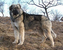 Carpathian Shepherd Dog - A.k.a. Ciobanesc Romanesc Carpatin, Romanian Carpathian Shepherd, Caine Ciobanesc Carpatin, carpathian Sheepdog, Carpatin, Romanian Carpatin Herder, Rumanian Carpathian - Romania - Very devoted, well-mannered, courageous dog, guardian of flocks of sheep or master