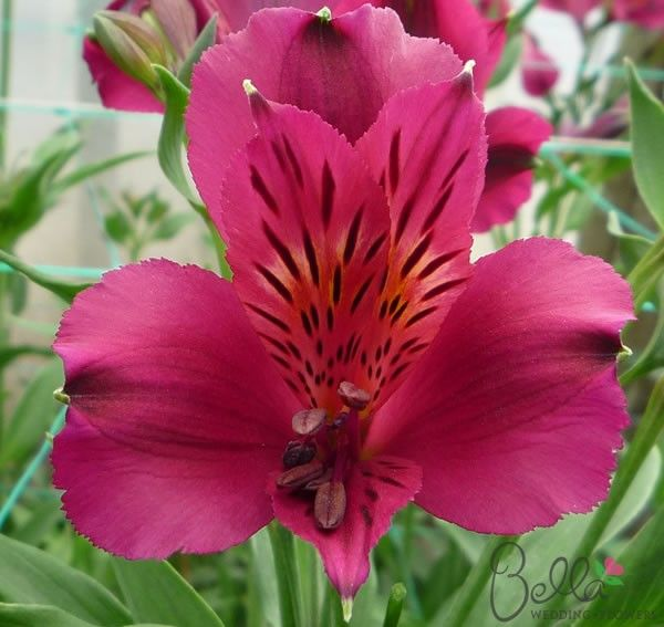Purple Napoli Peruvian Lilies flowers for your Wedding centerpieces and bouquets at wholesale prices! These colorful flowers feature with burgundy purple petals that are often two-toned, with yellow inner petals and freckled. Each flower has an average of 3 to 5 semi heart-shaped blooms and would create stunning wedding bouquets, table centerpieces and floral decor. Also known as Alstroemeria we deliver these beauties directly to your doorstep from the Grower! FREE SHIPPING. $62