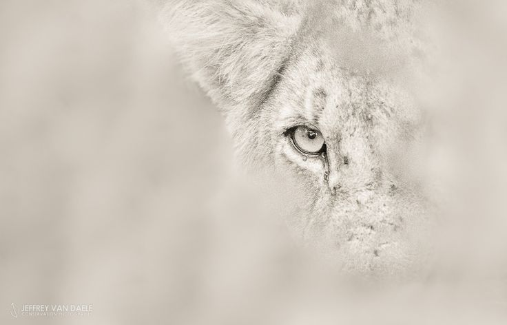 The eye of the Lion by Jeffrey Van Daele on 500px