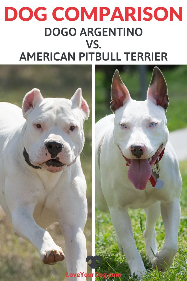 Dogo Argentino vs. American Pitbull Terrier: Breed ...