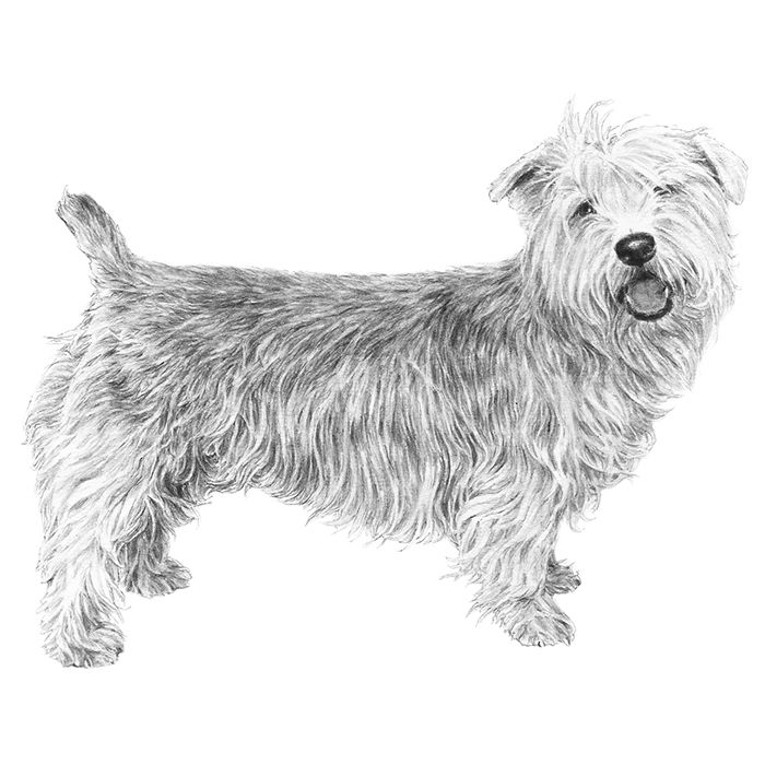 The 25 best glen of imaal terrier ideas on pinterest terrier glen of imaal terrier breed standard illustration thecheapjerseys Image collections