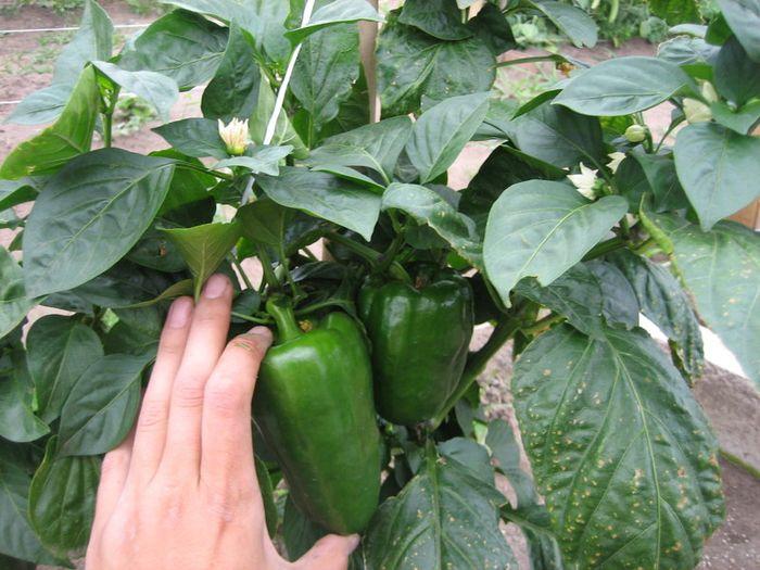 Apie papriku auginima ir prieziura