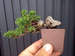 Resultado de imagen para amelbo bonsai japon More