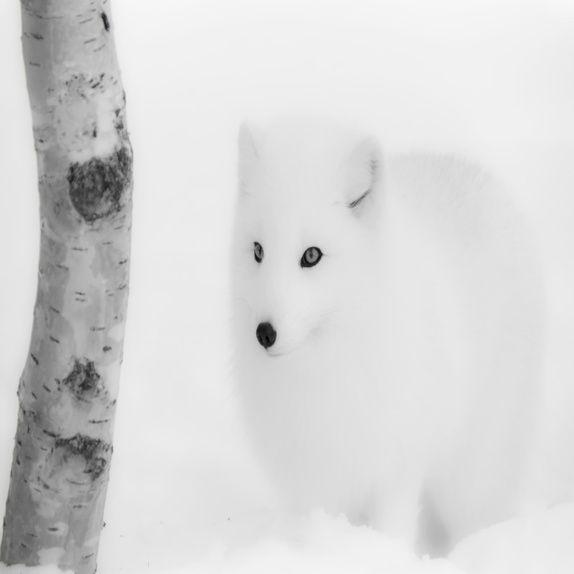 Fjellrev i snø (Aluminium 20x00cm) #foto #fotokunst #fotografi #dyreliv #dyr #svart #hvitt #vinter #snø #fjellrev #epla