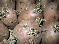 Как подготовить картофель к посадке, способы проращивания Источник: http://dacha-vprok.ru/kak-podgotovit-kartofel-k-posadke-sposoby-prorashhivaniya