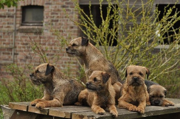 It's a Border Terrier gang... snappin' their fingers... if they had fingers.