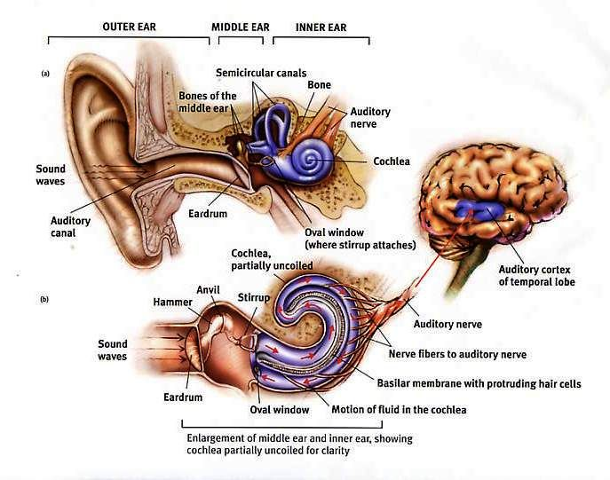 Parts Of The Human Ear - Health, Medicine and Anatomy Reference Pictures