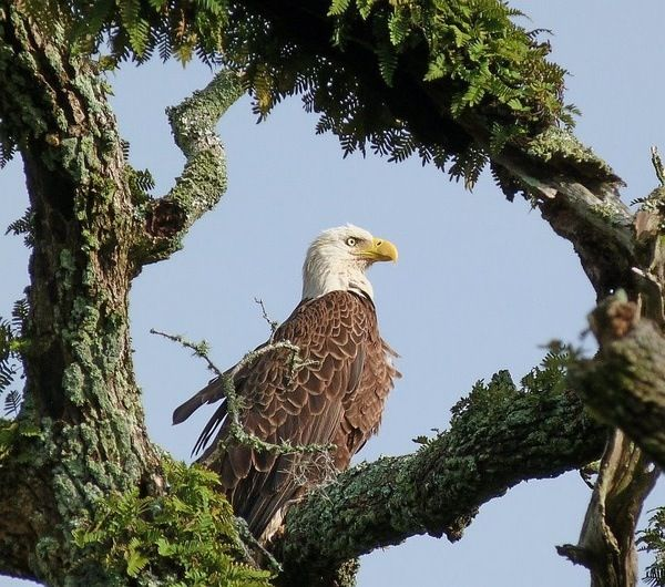 the bald eagle americas national bird Clearly recognized by its white head, brown body, and hooked yellow beak, the bald eagle has been the national emblem of the united states of america since 1782.