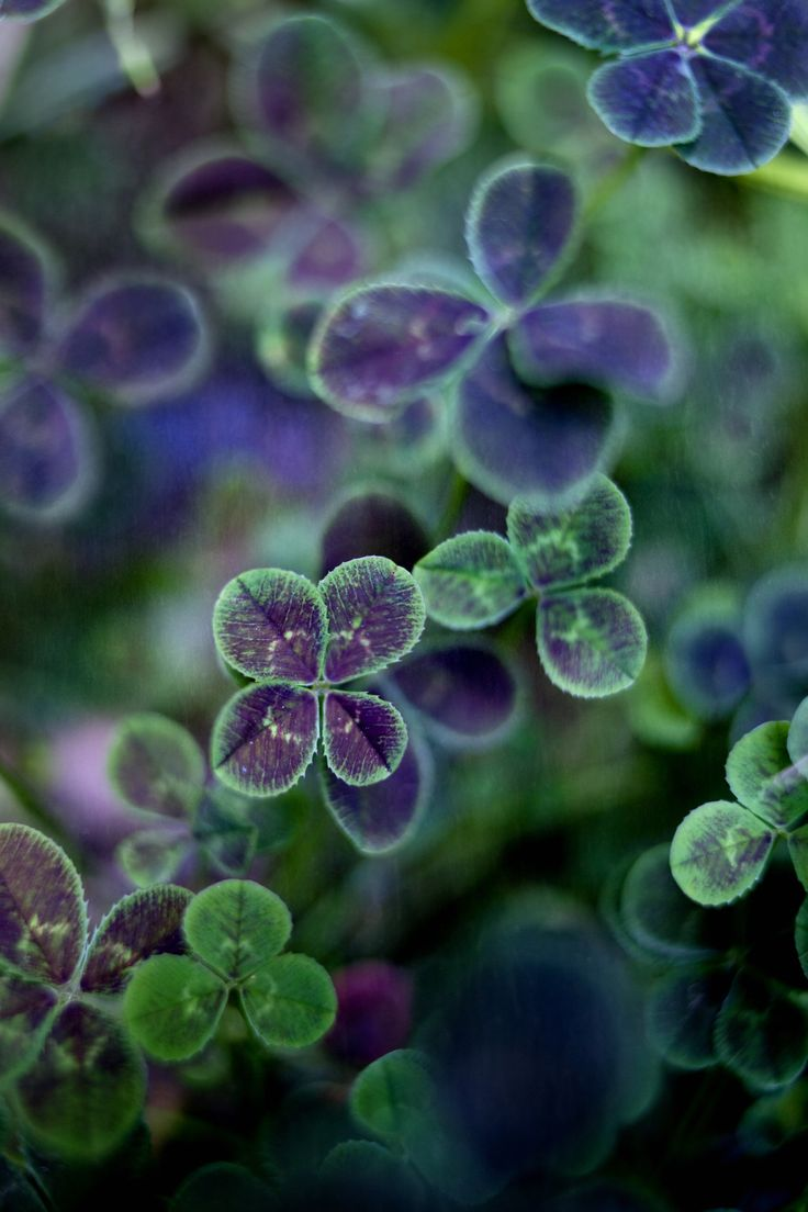 Trifolium repens Atropurpurea