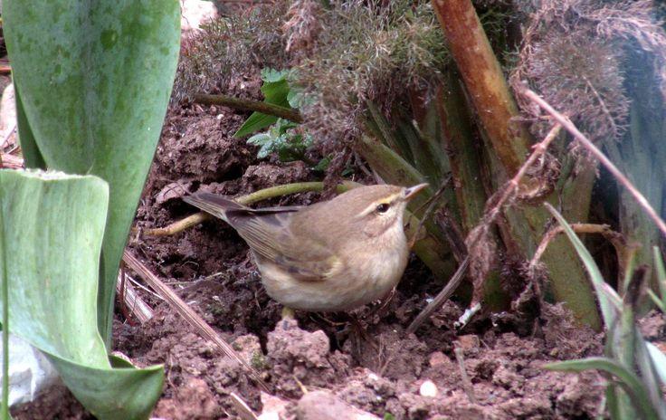 https://flic.kr/p/FVCRE4 | garden warbler