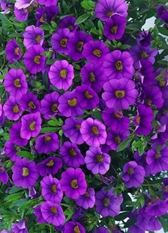 Hanging Flower Baskets Home Depot Canada : Best images about purple flowers on persian