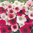 Malope Seeds - Malope Trifida Flower Seed