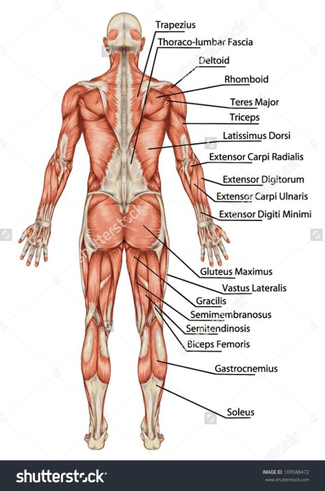 Human Anatomy Back View Koibana Info Body Anatomy Body Muscle Anatomy Muscle Anatomy