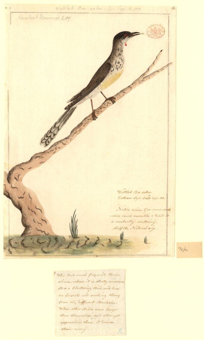 Wattled Bee-eater, native name Goo-gwar-ruck