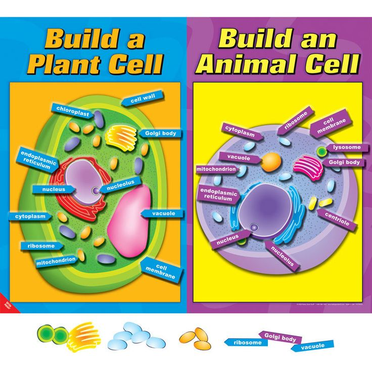 Poster Board Ideas For Lysosome : Build a cell poster and magnets set science ideas