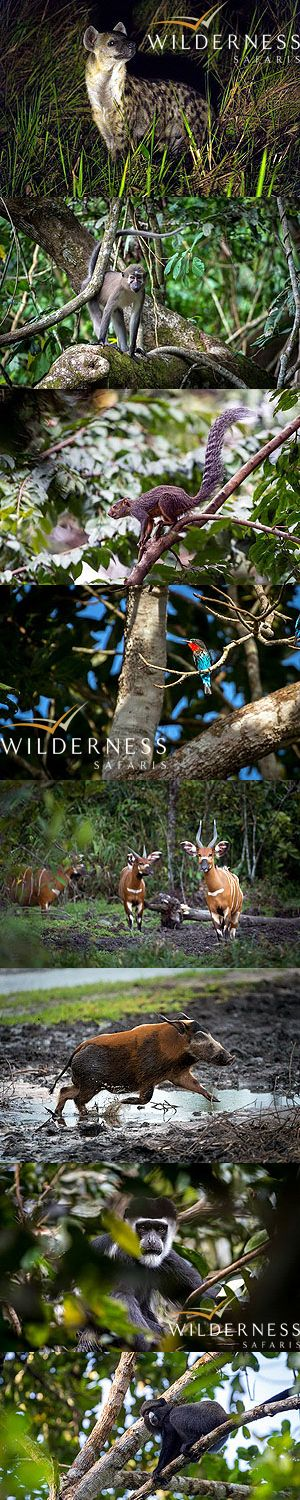 We are Wilderness - The wildlife during my two week stay in the Odzala Wilderness Camps (one week with guests, and the next week on a photo shoot for Wilderness) was exceptional. 10 primate species (including chimpanzee and western lowland gorilla) and two bongo sightings were probably the highlights. The bongo sightings were both from Lango Camp ... the first a herd of 15 animals seen in the morning and the second a herd of 4 in the late afternoon. Click on the image to view the full…