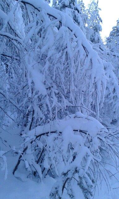 Takametsää lumikenkäilyn ja hiihtoladun varrelta. Lunta riittää 29.1.16