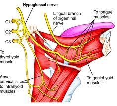 Hypoglossal nerve