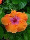 Tahitian Hibiscus Tahitian Tiger Orange
