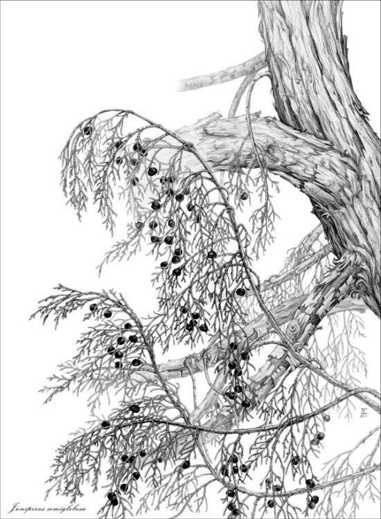 Juniperus semiglobosa Botanical illustration by Gábor Emese