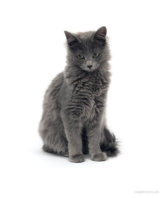 X  Nebelung Cat Pictures