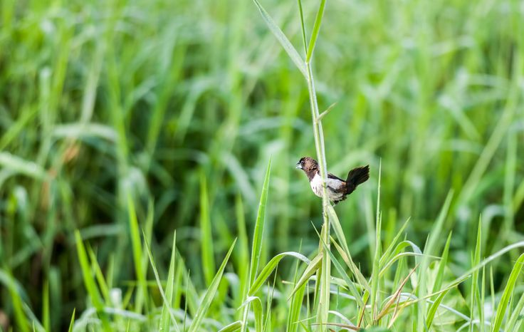 White-rumped Munia, Lonchura striata, small bird, perched on grass blade by Srijan Roy Choudhury on 500px