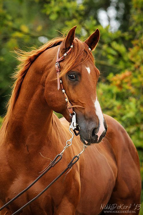 chestnut horse   Horses - Fire   Pinterest   Beautiful ... - photo#20