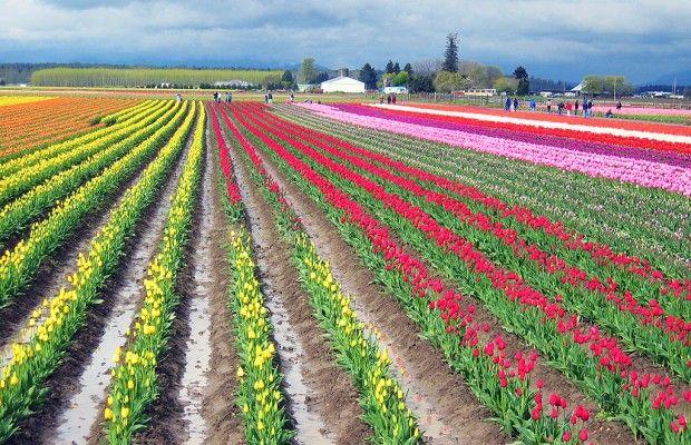 Campos de Tulipanes, Holanda. - lugares fanstasticos - lugares fanstasticos