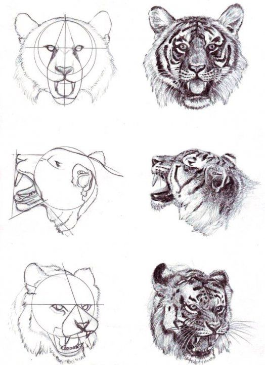 Tiger head drawing tutorial - photo#2