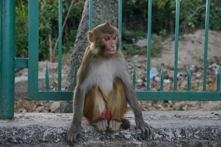 Непальская красотка / Nepalese monkey #monkey