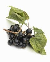 How to Identify Currant Berries thumbnail