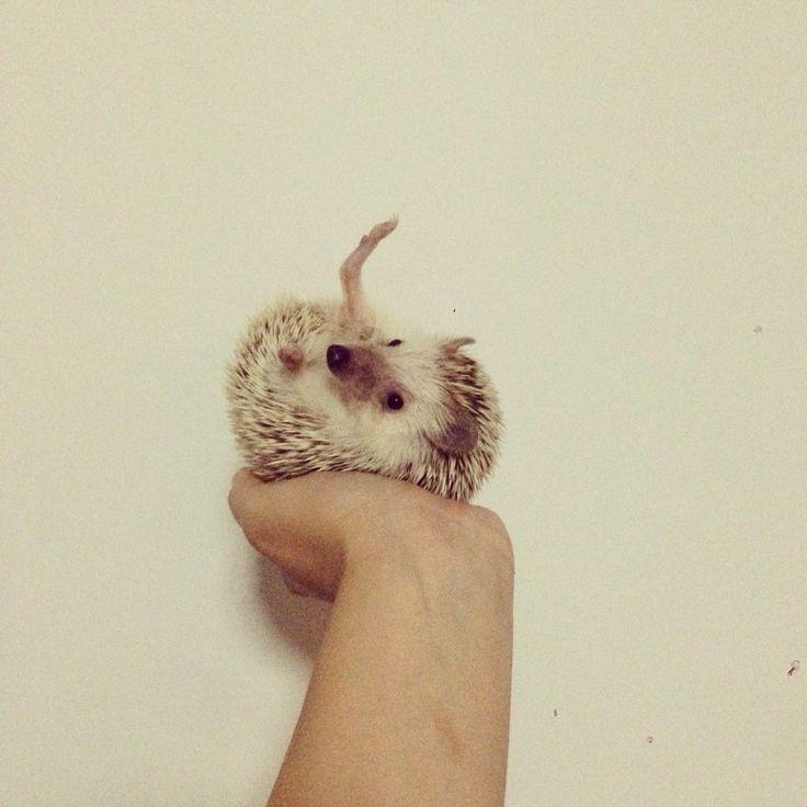 My hobby is Yoga #pet #hedgie #hedgehog