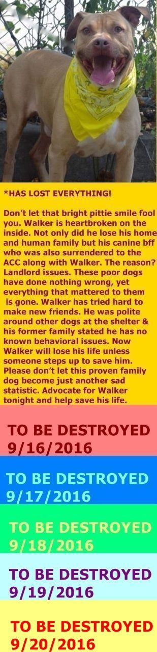 HAAAAAPPPPYYYYYY   FINALLY SAFE 9\/20\/16  PLEASE BE GOOD TO HIM FOREVER HE DESERVES THE BEST Staten Island Center My name is WALKER. My Animal ID # is A1087980. I am a male tan and white pit bull mix. The shelter thinks I am about 4 YEARS old. I came in the shelter as a OWNER SUR on 08\/30\/2016 from NY 10314 owner surrender reason stated was LLORDPRIVA.