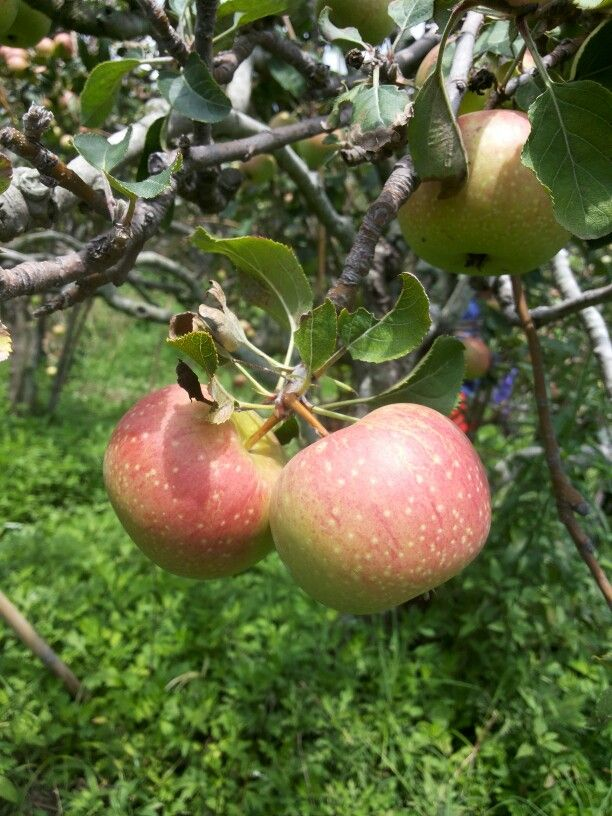 Wisata buat petik apel, batu malang, jawa timur. Indonesia, east java