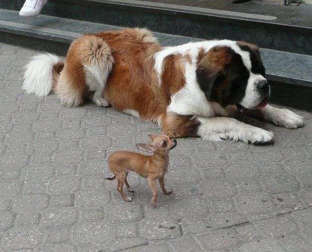 16 races de chiens pour ceux qui les aiment gros (PHOTOS)