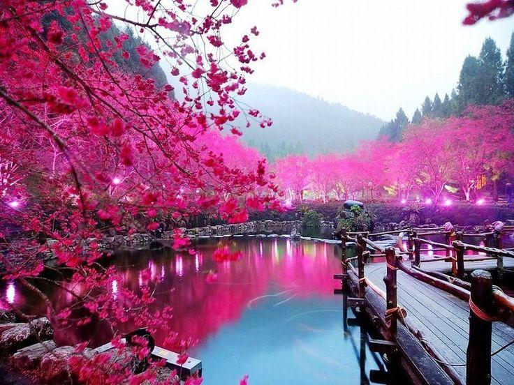 Gambar Bunga Sakura di Tepi Danau Bunga sakura