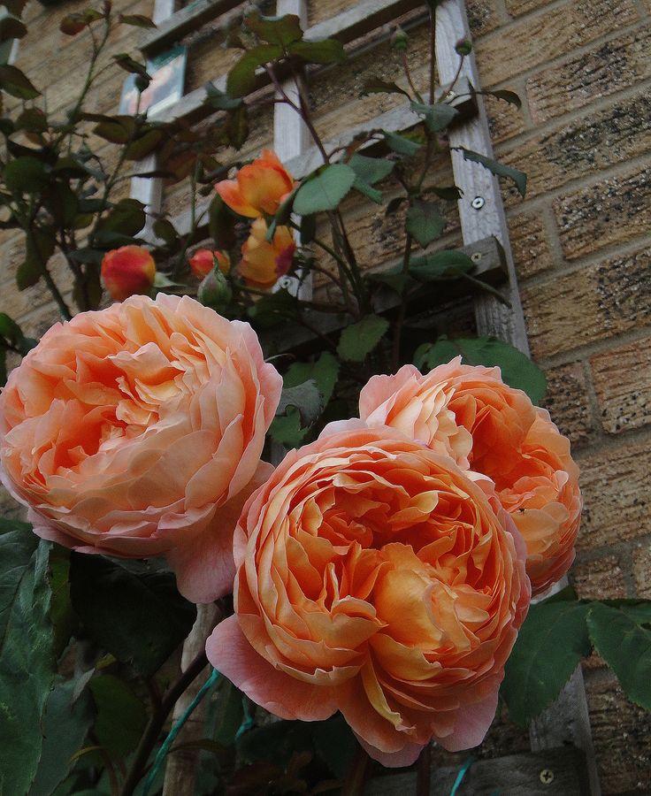 'Lady Emma Hamilton' | Shrub. English Rose Collection. David C. H. Austin, 2005  © rose rose rose