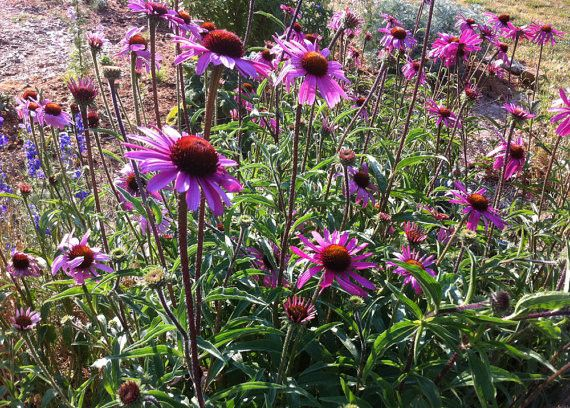 Echinacea tennesseensis Native Coneflower Purple Coneflowers Drought Tolerant Perennial Seeds