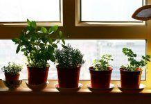 7 gyógynövény, ami minden lakásban megterem