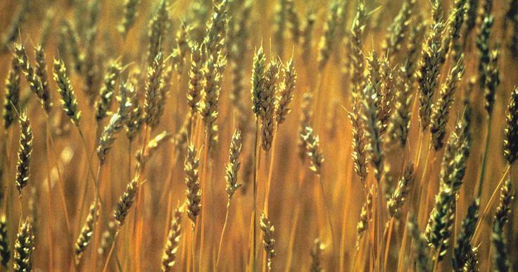 Tipos comestibles de granos. Los granos han sido un alimento fundamental para los humanos desde la Revolución Agrícola. También llamados cereales, los granos son las semillas comestibles de plantas en la familia de los pastos. Los granos comestibles incluyen el trigo, el centeno, la espelta, el arroz, la cebada, el sorgo, el maíz, la avena, el mijo y el teff. Los granos ...