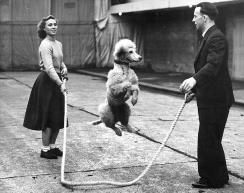 John Chipperfield practices a skipping rope trick with a French Poodle before his performance at Tom Arnold's Harringay Circus, London,  6th January 1950