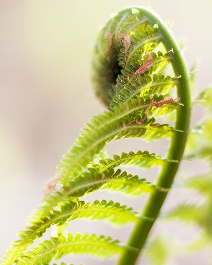 Image result for juvenile bracken fern