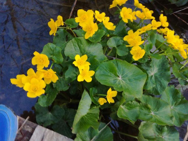 Rentukka (caltha palustris) puro 19.5