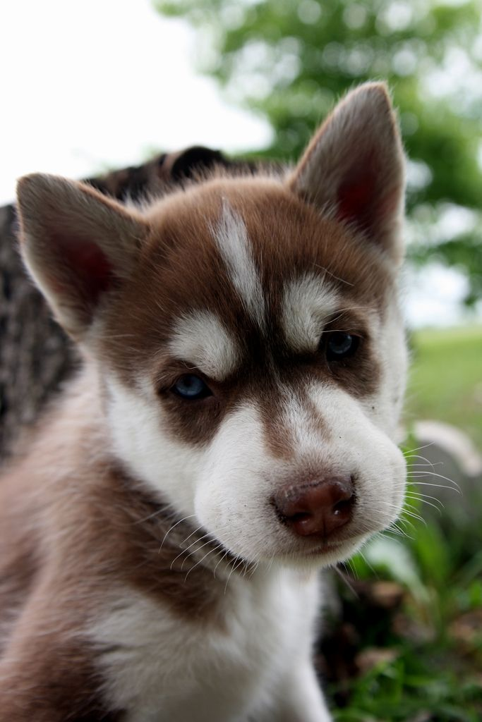 Best Puppy Blue Eye Adorable Dog - c7cb60bffe6f4a6b50abe194fec3ffe8--baby-huskies-huskies-puppies  Gallery_551911  .jpg