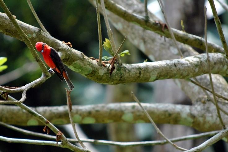 Atrapamoscas Pechirrojo posando en un árbol en El Portal, Paraíso natural.