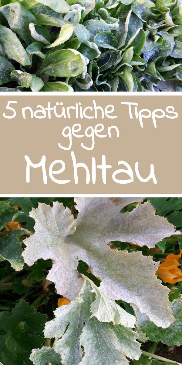 5 natürliche Tipps gegen Mehltau - Mit einfachen Mitteln und Tipps gegen Mehltau kann man den Befall durch den hartnäckigen Pilz eindämmen!