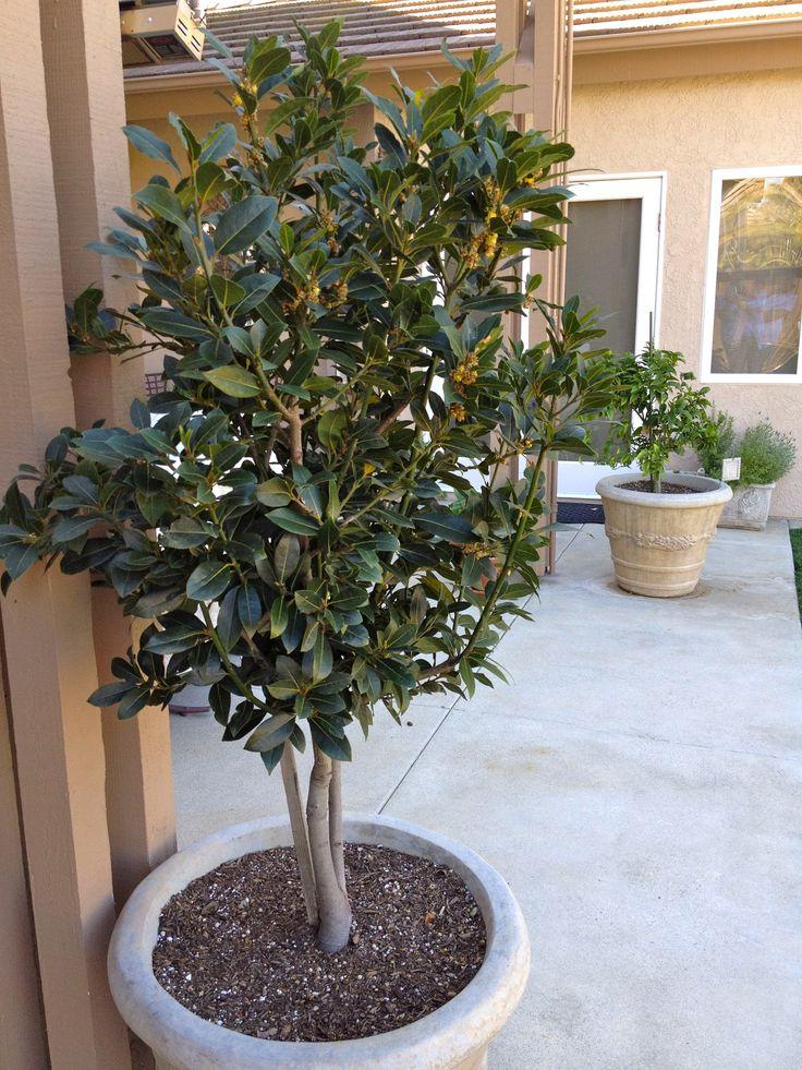 Laurus Nobilis Bay Leaf Tree Bay Tree Sun Trees
