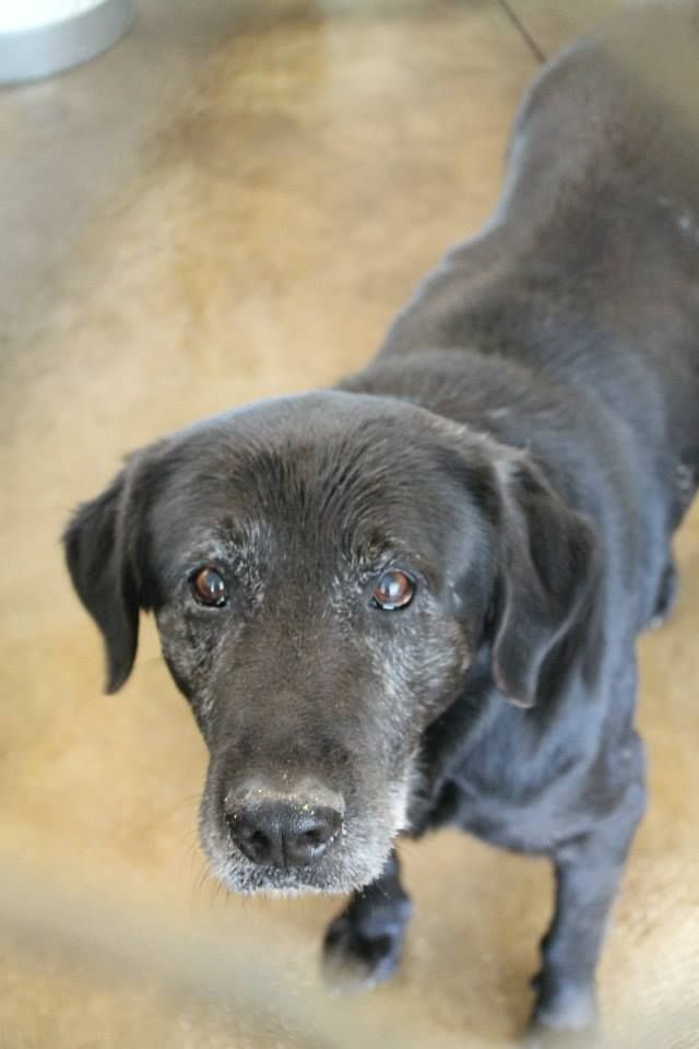 """15 years old and taken to shelter to die. Odaville (Odie) - Available for Rescue or Adoption 04/23/2014. Male, 15 YEARS OLD!!!! Black Labrador. White County Animal Shelter. Sparta, TN. """"He was 100% gentle and docile with me, I petted him all over, checked his teeth looked in his ears, etc..."""" BEAUTIFUL SENIOR!  https://www.facebook.com/WhiteCountyAnimalShelter/photos/a.576582372456180.1073742259.296345430479877/576582405789510/?type=1&theater"""