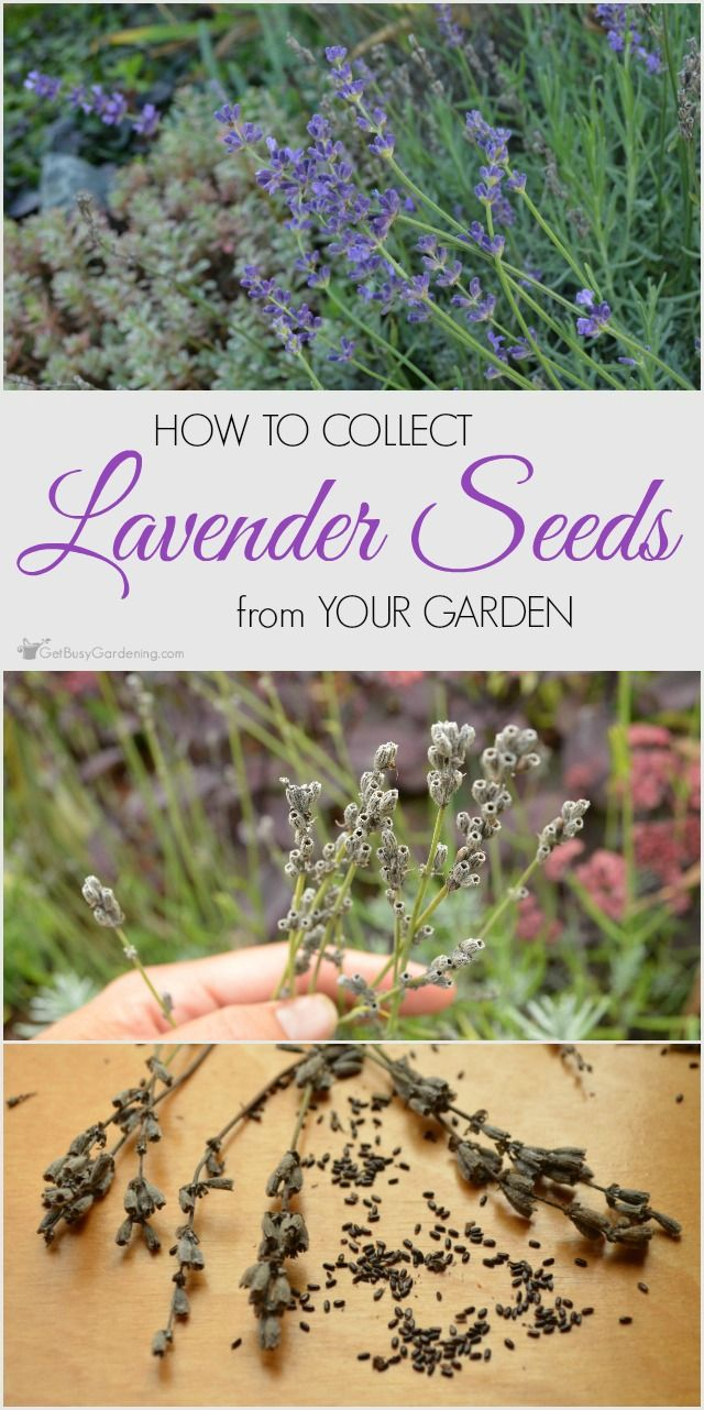 It's easy to collect lavender seeds from the garden. Follow these steps and you'll have lots of lavender seeds to share or trade for free garden seeds.